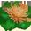 Griffon BronzeAnastasiaFlower_p.3443