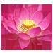 Fleur de Lotus Indien